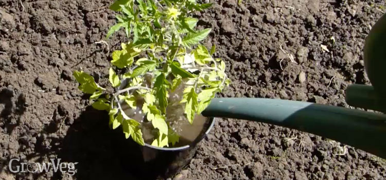 Plant halo water reservoir for a tomato plants