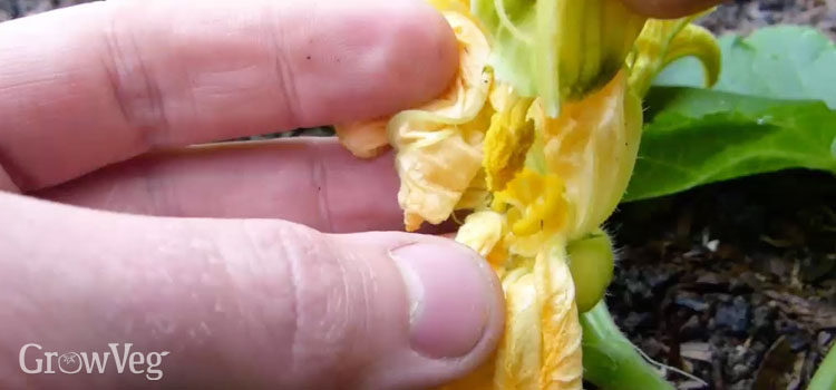"""Hand-pollinating"