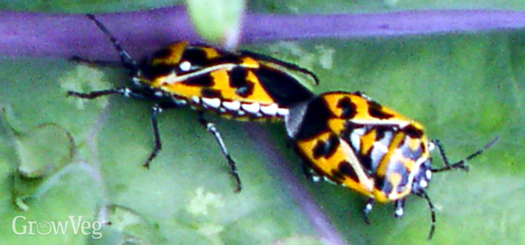 Harlequin bugs on kale