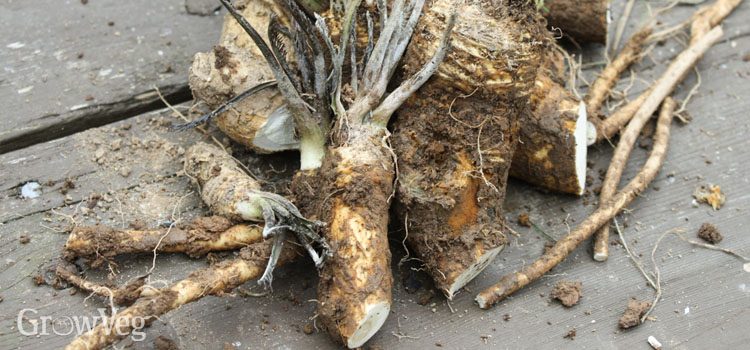Harvested horseradish crowns