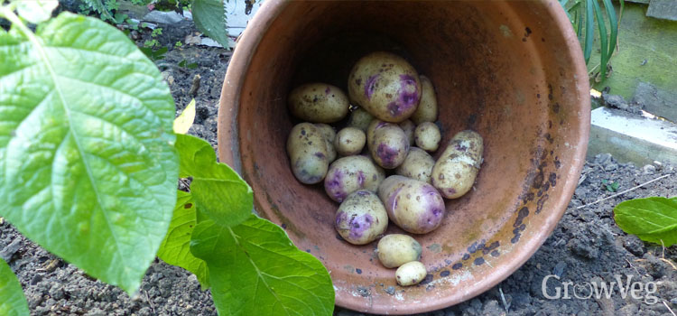 https://s3.eu-west-2.amazonaws.com/growinginteractive/blog/harvested-potatoes-in-pot-2x.jpg