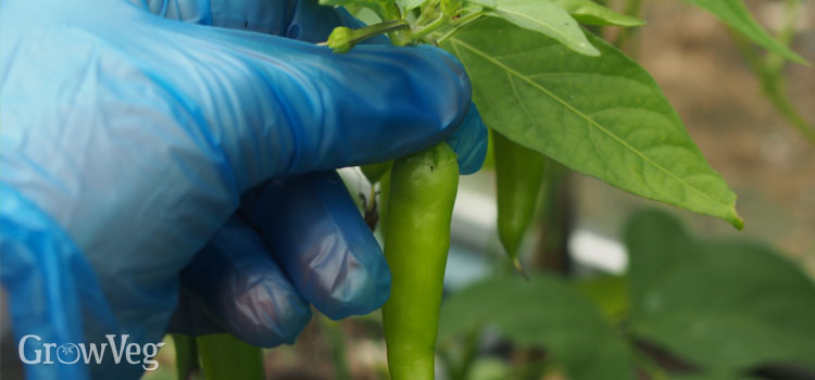 Harvesting chilies wearing protective gloves