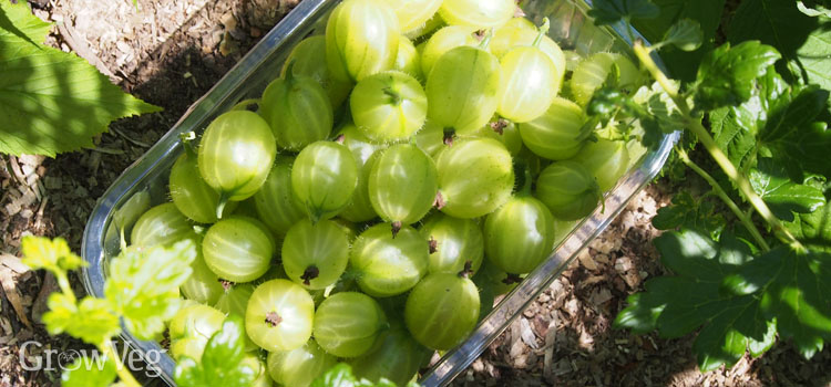 https://s3.eu-west-2.amazonaws.com/growinginteractive/blog/harvesting-gooseberries-2x.jpg