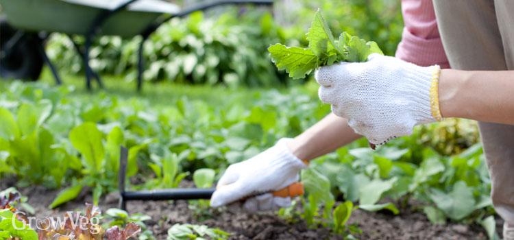 Harvesting salad crops