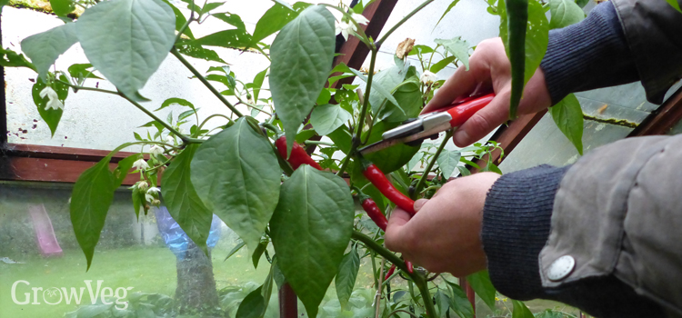 Overwintering peppers can help extend your picking period