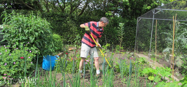 Hoeing weeds out of leeks