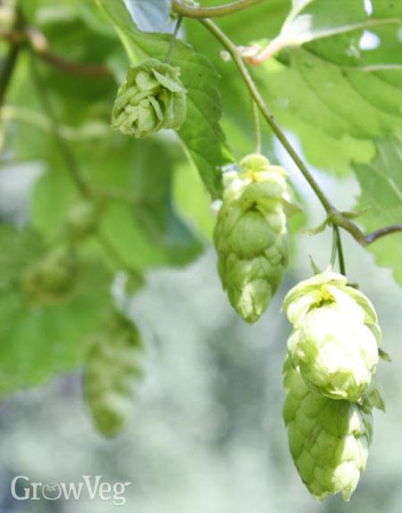 Hop buds