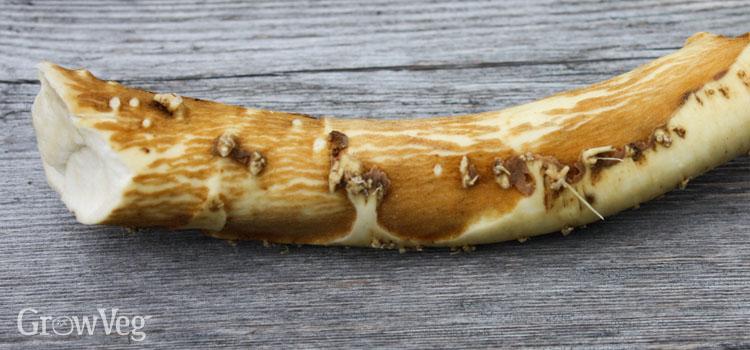 """""""Horseradish"""