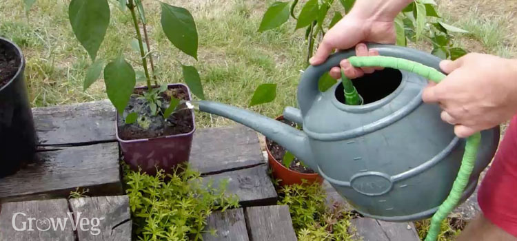 Gently watering plants using a hose inside a watering can