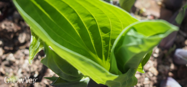 Young hosta leaves unfurling