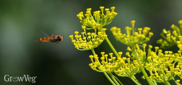 Hoverflies reduce pest numbers