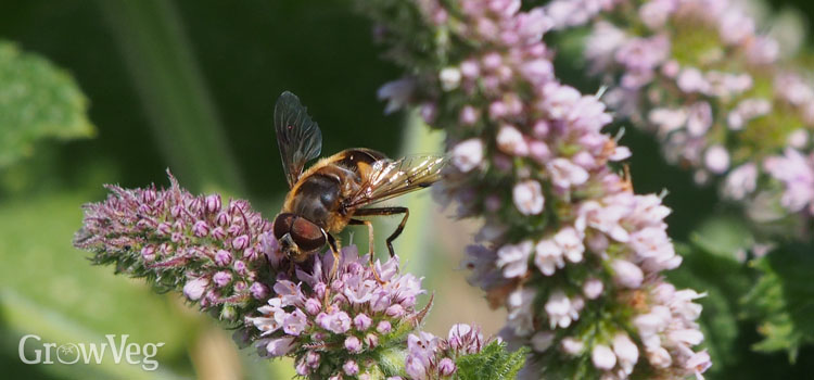 Hoverfly pollinating mint flowers