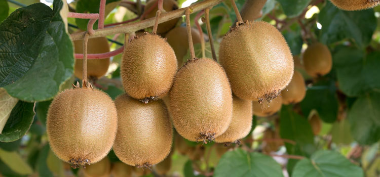Growing kiwi fruit