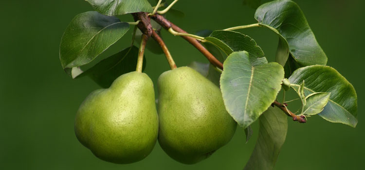 https://s3.eu-west-2.amazonaws.com/growinginteractive/blog/how-to-grow-pears-fruits-2x.jpg