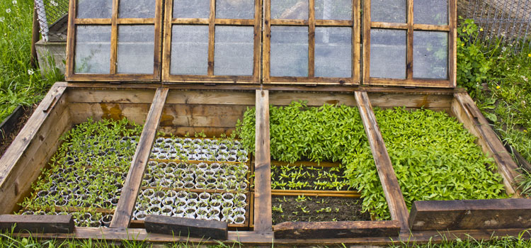 Using a cold frame for growing vegetables
