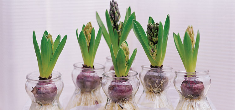 https://s3.eu-west-2.amazonaws.com/growinginteractive/blog/hyacinths-in-jars-2x.jpg