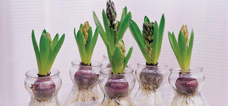 Hyacinths in jars