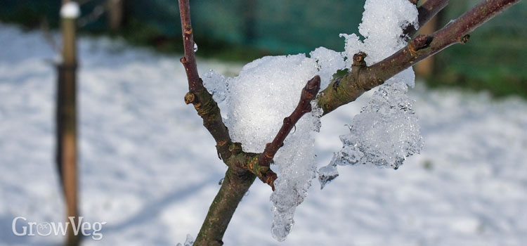 Icy apple tree branches