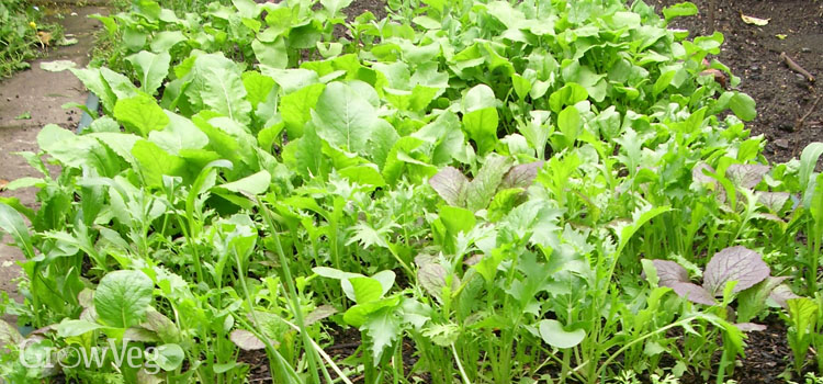 Improve your garden yield by intercropping vegetables