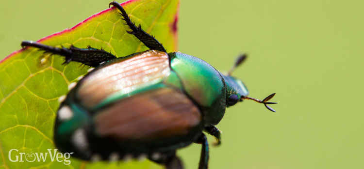 https://s3.eu-west-2.amazonaws.com/growinginteractive/blog/japanese-beetle-2x.jpg