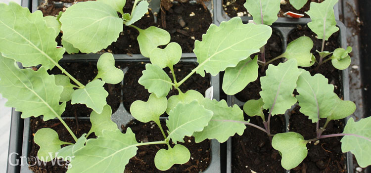 Cabbage and kohlrabi seedlings