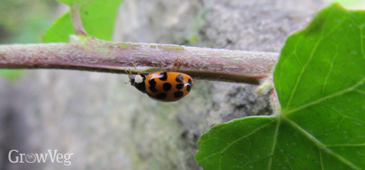 Ladybirds can eat up to 150 aphids a day!
