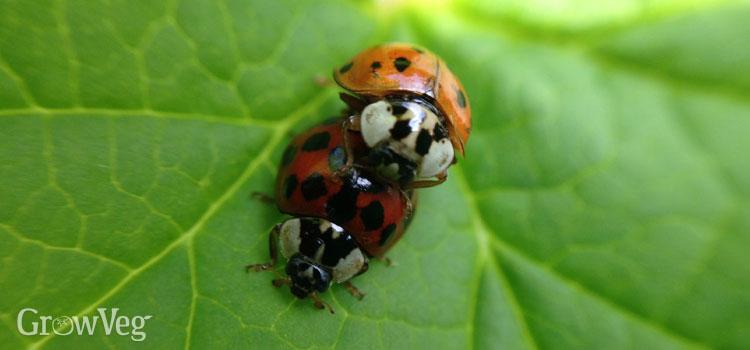 """""""Ladybugs"""