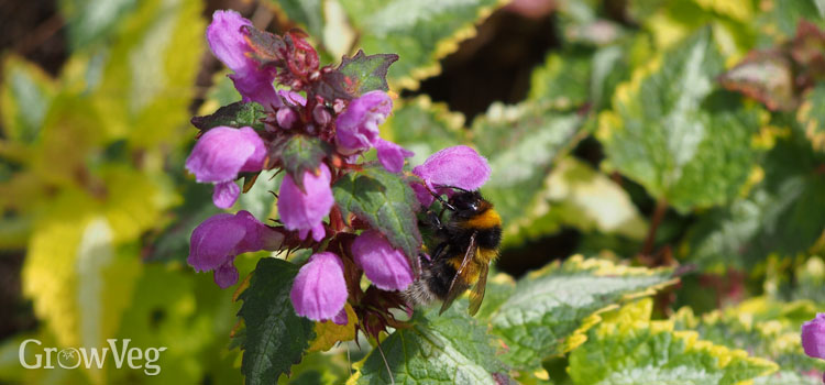 """Deadnettle"