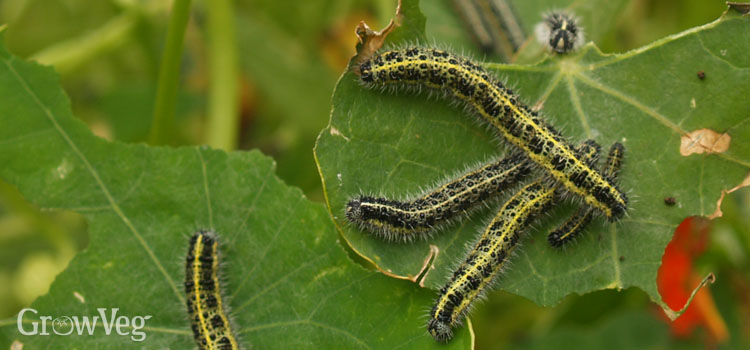 Large cabbage white caterpillars