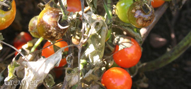 How to Prevent Blight in Your Garden