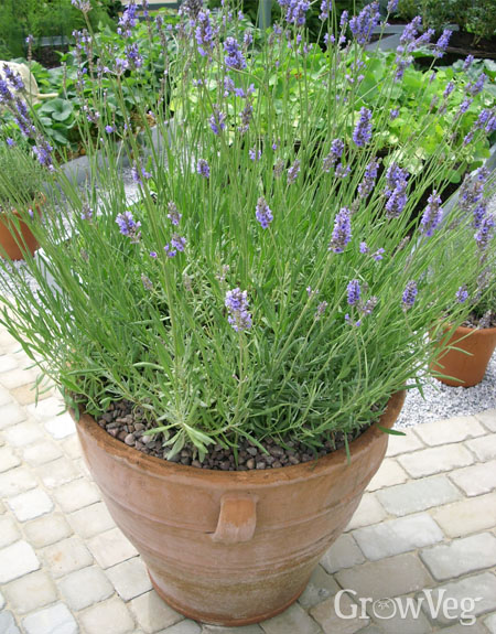 Lavender in a terracotta pot