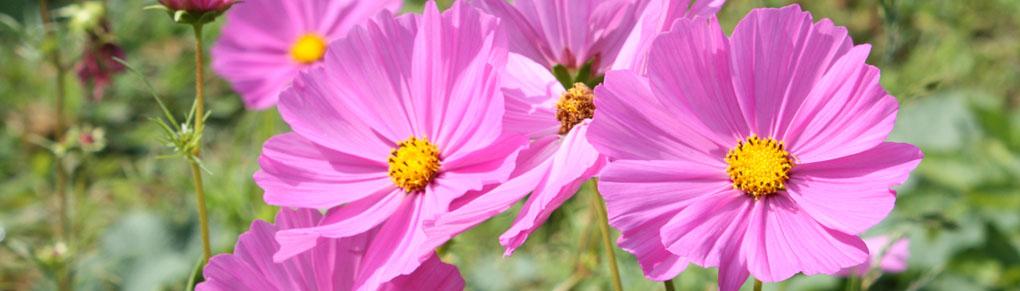 Best Vegetable Garden Flowers