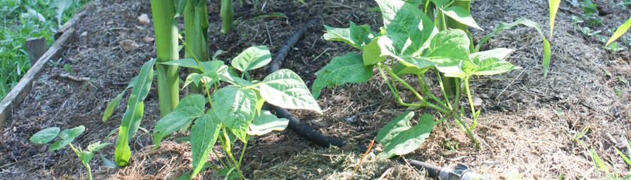 Companion Planting: Three Sisters Garden Plans