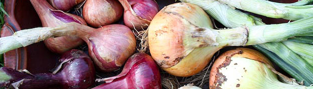 Curing Onions for Storage