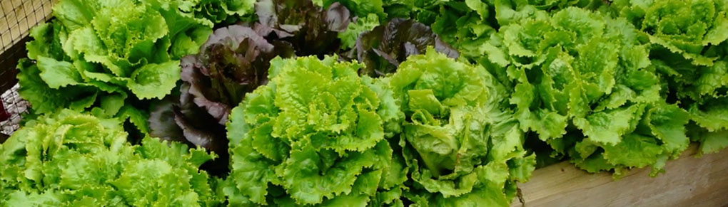 Growing Lettuce from Sowing to Harvest