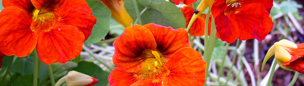 Growing Nasturtiums for Flowers, Food and Pest Control