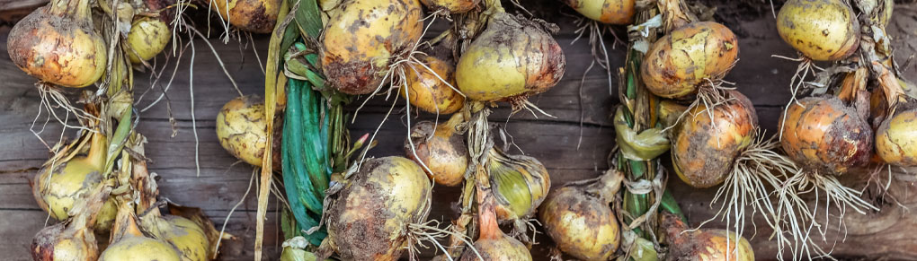 Growing Onions from Sowing to Harvest