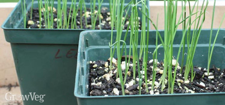 Leek seedlings