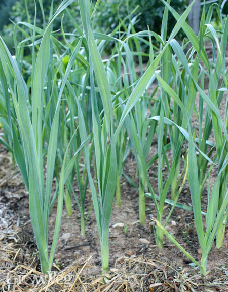 Leeks benefit from being started early in pots