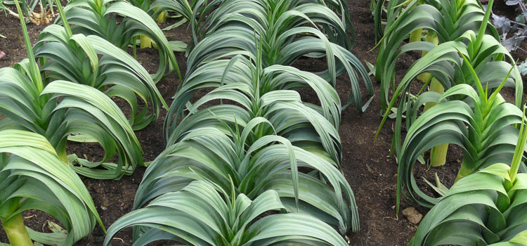 https://s3.eu-west-2.amazonaws.com/growinginteractive/blog/leeks-in-rows-2x.jpg