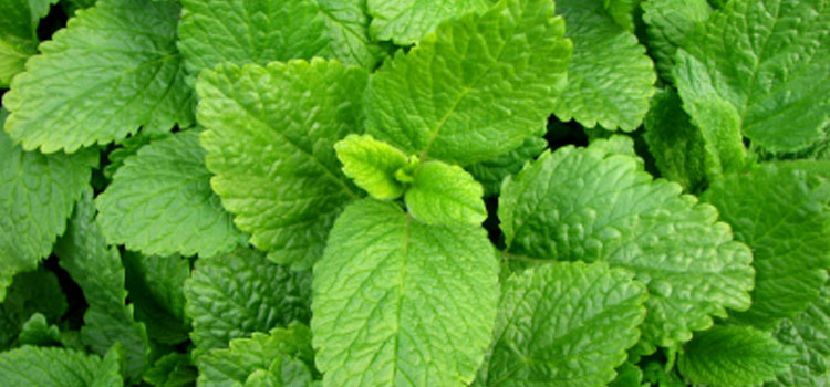 Image result for lemon balm