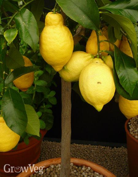 """Lemon"