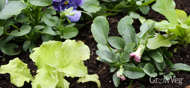 Lettuce interplanted with pansies