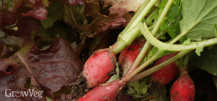 Fast-growing radishes and lettuce
