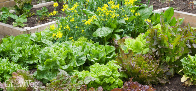 https://s3.eu-west-2.amazonaws.com/growinginteractive/blog/lettuce-bed.jpg