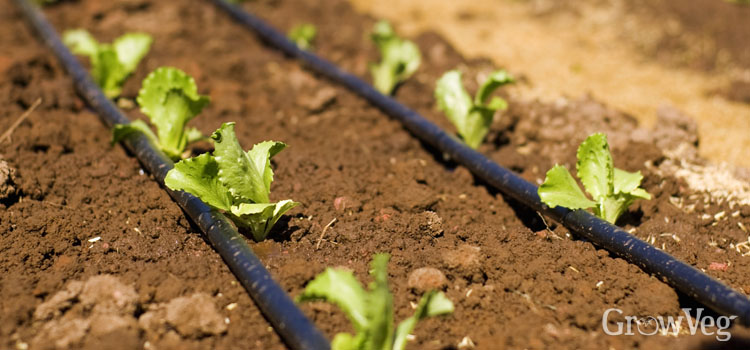 Using soaker hoses for irrigation in your vegetable garden