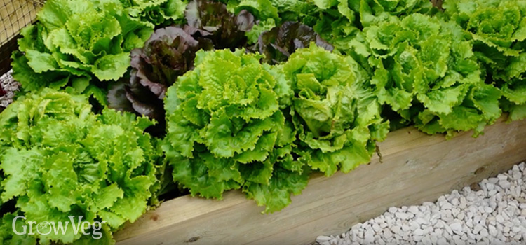 Lettuce comes in a variety of shapes and colors