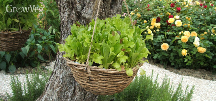 Lettuce-filled hanging basket