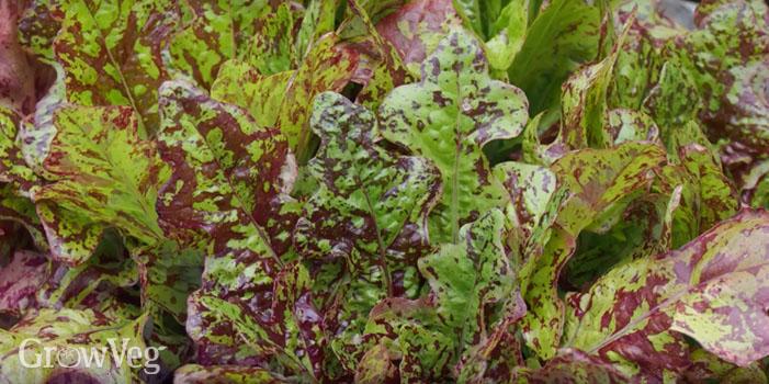"""""""Lettuces"""