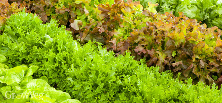 Easy-to-grow lettuces